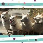Four Siberians